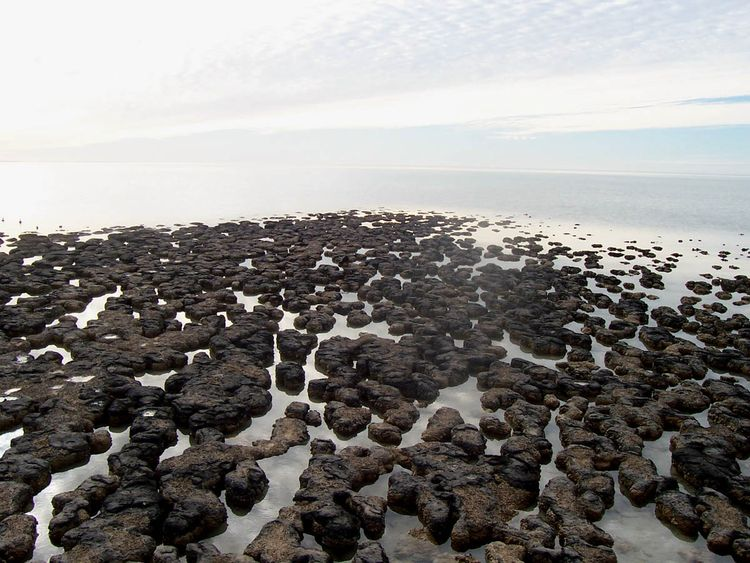Stromatolites_in_hamlin_pools,_shark_bay,__western_australia copy