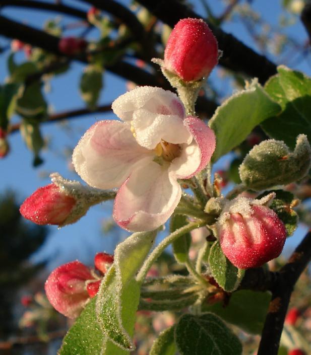 Applefrost
