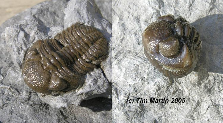 Trilobite copy