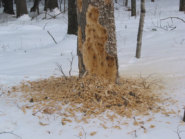 Pileated_tree
