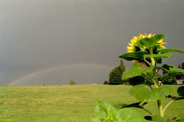Sunflowerbow