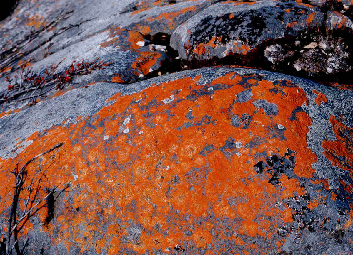 Red lichen growing on a rock in Canada – similar to what is found on Kilimanjaro.