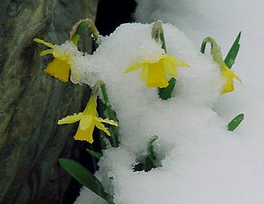 Snowdaffodils