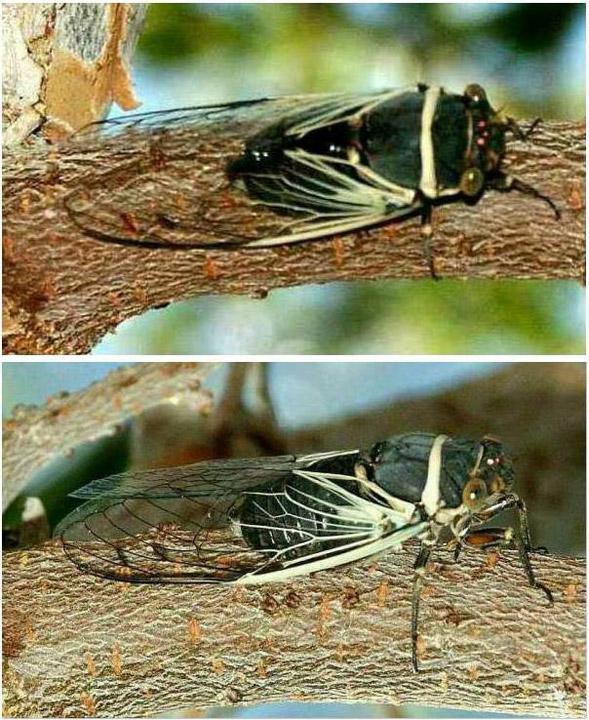 Summer_cicada